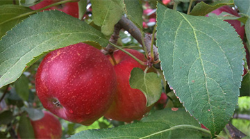 Waddell Apples Harvest Campaign